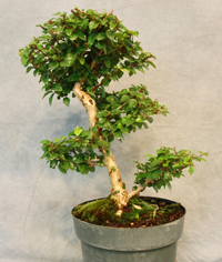 parrots beak bonsai3 Parrots Beak Bonsai Tree