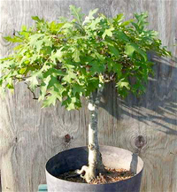 pin oak bonsai4 Pin Oak Bonsai Tree