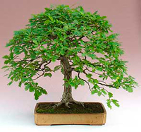 pin oak bonsai6 Pin Oak Bonsai Tree