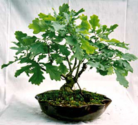 pin oak bonsai7 Pin Oak Bonsai Tree