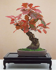 pin oak bonsai8 Pin Oak Bonsai Tree