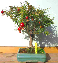 pomegranate bonsai3 Pomegranate Bonsai Tree