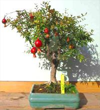 pomegranate bonsai tree punica granatum. Black Bedroom Furniture Sets. Home Design Ideas