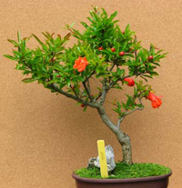 pomegranate bonsai4 Pomegranate Bonsai Tree