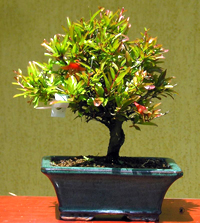 pomegranate bonsai5 Pomegranate Bonsai Tree