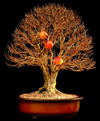 pomegranate bonsai7 Pomegranate Bonsai Tree