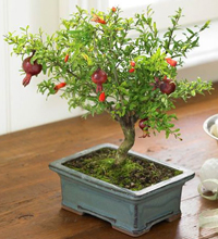 pomegranate bonsai8 Pomegranate Bonsai Tree