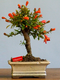 pomegranate bonsai9 Pomegranate Bonsai Tree
