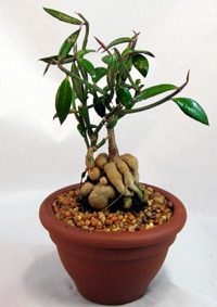 red monadenium bonsai1 Red Monadenium Bonsai Tree
