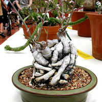 red monadenium bonsai5 Red Monadenium Bonsai Tree
