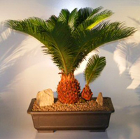 sago palm bonsai3 Sago Palm Bonsai Tree