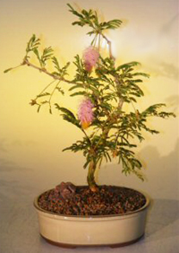 sickle bush bonsai1 Sickle Bush Bonsai Tree