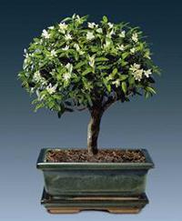 Please help me id this bonsai baby helpfulgardener gardening image mightylinksfo
