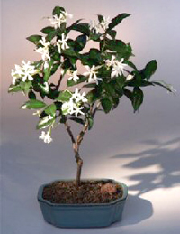 star jasmine bonsai1 Star Jasmine Bonsai Tree