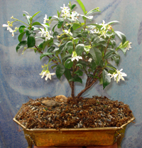 star jasmine bonsai2 Star Jasmine Bonsai Tree