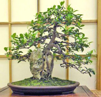 star jasmine bonsai3 Star Jasmine Bonsai Tree