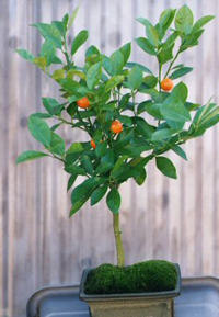tangerine bonsai1 Tangerine Bonsai Tree