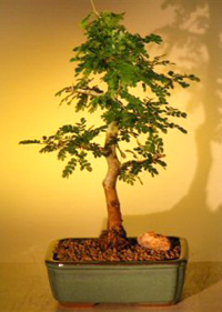 texas ebony bonsai1 Texas Ebony Bonsai Tree