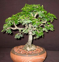 texas ebony bonsai2 Texas Ebony Bonsai Tree