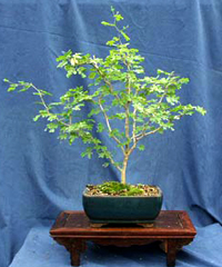 texas ebony bonsai3 Texas Ebony Bonsai Tree