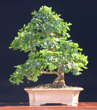 texas ebony bonsai4 Texas Ebony Bonsai Tree