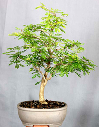 texas ebony bonsai5 Texas Ebony Bonsai Tree