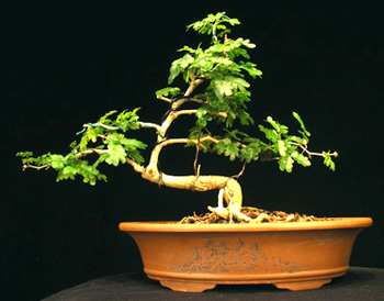 texas ebony bonsai6 Texas Ebony Bonsai Tree