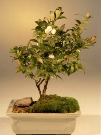 top hat blueberry bonsai1 Top Hat Blueberry Bonsai Tree