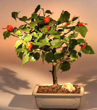 turks cap bonsai1 Turks Cap Bonsai Tree