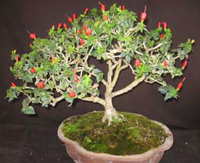 turks cap bonsai3 Turks Cap Bonsai Tree