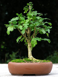 turks cap bonsai5 Turks Cap Bonsai Tree