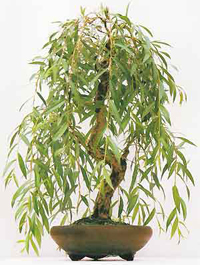 weeping  willow bonsai3 Weeping Willow Bonsai Tree