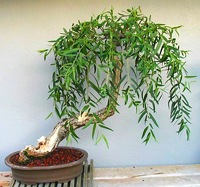 weeping  willow bonsai4 Weeping Willow Bonsai Tree