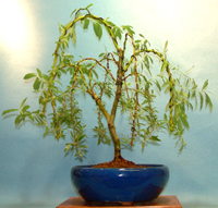 weeping  willow bonsai8 Weeping Willow Bonsai Tree