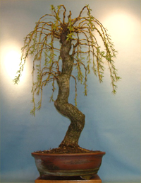 weeping  willow bonsai9 Weeping Willow Bonsai Tree