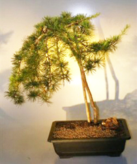 weeping hemlock bonsai11 Western Hemlock Bonsai Tree