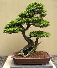 western hemlock bonsai2 Western Hemlock Bonsai Tree