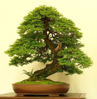 western hemlock bonsai3 Western Hemlock Bonsai Tree