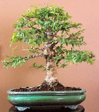 water jasmine bonsai1 Water Jasmine Bonsai Tree