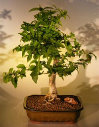 water jasmine bonsai5 Water Jasmine Bonsai Tree