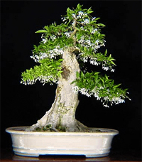 water jasmine bonsai8 Water Jasmine Bonsai Tree