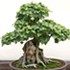 Trindent Maple Bonsai Tree