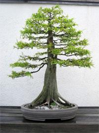 Bald Cypress Bonsai Tree Chinese Bonsai Garden