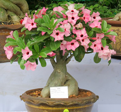 Desert Rose Bonsai Tree Chinese Bonsai Garden