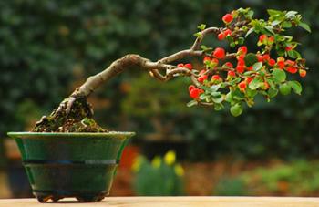 Flowering Quince Bonsai Tree Chinese Bonsai Garden