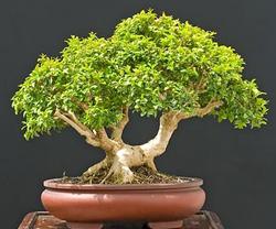 Japanese Kingsville Boxwood Bonsai Tree Chinese Bonsai Garden