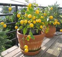 Meyer Lemon Bonsai Tree Chinese Bonsai Garden