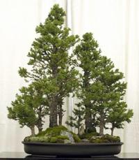Dwarf Alberta Spruce Bonsai Tree Chinese Bonsai Garden