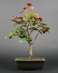 Copper Beech Bonsai Tree Chinese Bonsai Garden