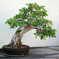 Natal Fig Bonsai Tree Chinese Bonsai Garden